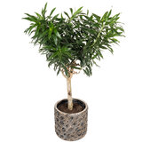 Dracaena in luxe plantenbak
