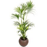Kentia in luxe kamerplantenbak