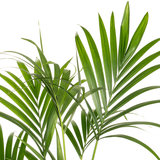 Kentia palm Howea