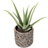 Aloe Vera in luxe pot