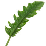 Philodendron Narrow blad