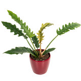 Philodendron Narrow in pot