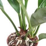 Anthurium Jungle King wortels