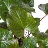 Homalomena Rubescens Maggy blad