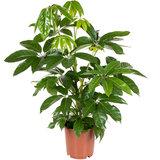 Schefflera Amate 75 cm