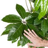 Schefflera Amate bladeren
