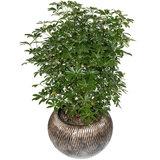 Schefflera Luseana kamerplant