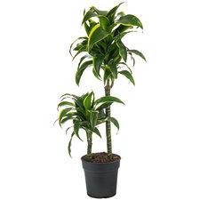 Dracaena Dorado 80 cm
