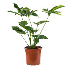 Philodendron 80 cm - Green Wonder