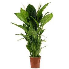 Spathiphyllum Sweet Sebastiano 135 cm
