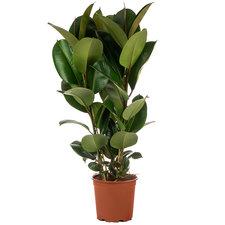 Ficus 90 cm - Elastica Robusta 3pp