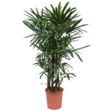 Rhapis Excelsa 160 cm - Palm