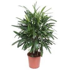 Rhapis Excelsa 110 cm - Palm
