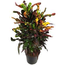 Croton 80 cm - Curley Boy