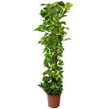 Epipremnum Scindapsus 150 cm