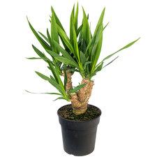 Yucca 70 cm - 3/4 armen