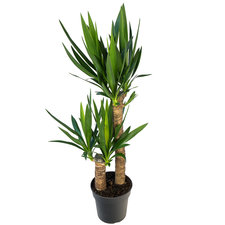 Yucca 100 cm - 2 stammen  Ø21