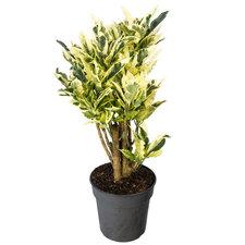 Croton Tamara 70 cm