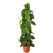Philodendron Scandens mosstok 100 cm
