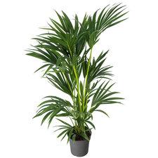Kentia 120 cm - Howea palm