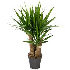 Yucca 100 cm - 3/4 armen