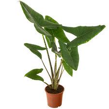 Alocasia Zebrina 100 cm