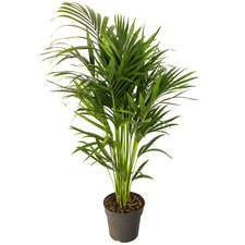 Kentia 140 cm - Howea palm