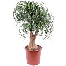 Beaucarnea vertakt 110 cm