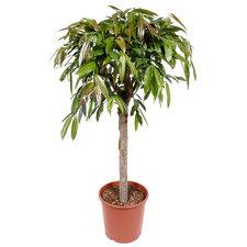 Ficus Amstel King 140 cm