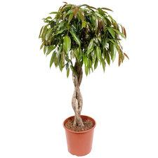 Ficus Amstel King 130 cm
