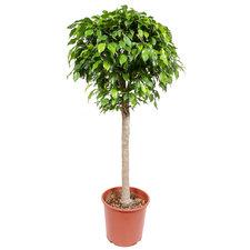 Ficus Columnar 130 cm
