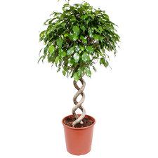 Ficus Exotica 130 cm