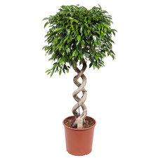 Ficus Foliole 140 cm
