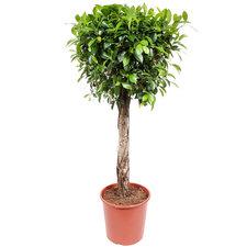 Ficus Nitida 130 cm