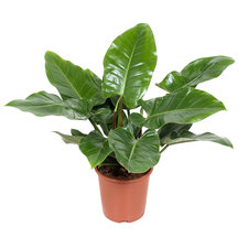Philodendron Imperial Green 80 cm
