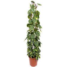 Philodendron Scandens Brasil 160 cm