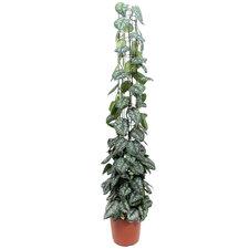 Scindapsus Trebie 160 cm