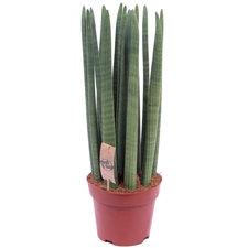 Sansevieria Straight 70 cm