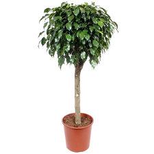 Ficus Danielle 130 cm