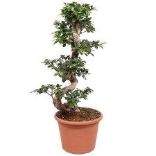 Ficus Microcarpa 100 cm