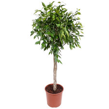Ficus Foliole 130 cm