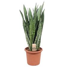 Sansevieria Zeylanica 85 cm