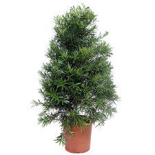 Podocarpus Macrophylla 120 cm