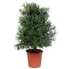 Podocarpus Macrophylla 110 cm