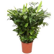 Elettaria Cardamomum 110 cm