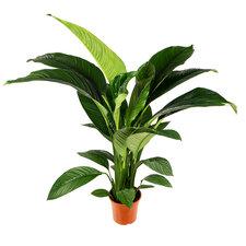 Spathiphyllum Sensation 150 cm