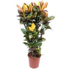 Croton Petra 130 cm