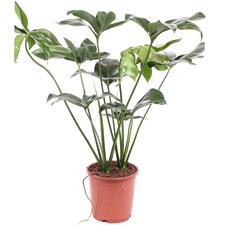 Philodendron Green Wonder 110 cm