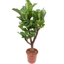 Ficus Lyrata 120 cm