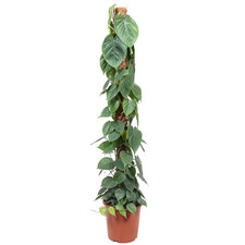 Philodendron Scandens 150 cm